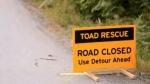 Toadlet crossing Chilliwack