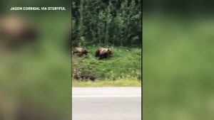 Extended: Grizzlies chase off black bear
