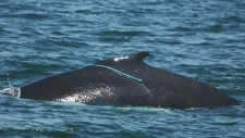 Whale rescuers free entangled humpback