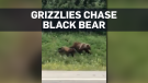 Caught on cam: Grizzlies chase black bear