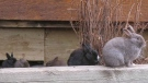 FILE -- Some of Canmore's feral rabbits are shown in the Alberta town, Tuesday, Nov. 22, 2011. (THE CANADIAN PRESS/Bill Graveland)