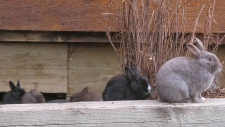 Some of Canmore's feral rabbits