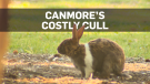 Is Canmore's $300-per-rabbit cull working?