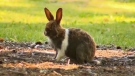 Feral rabbit in Canmore