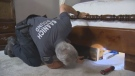 Saanich Pound officer Mike Gibson devised a plan to get the obviously frightened mink back into the wild. July 16, 2018. (CTV Vancouver Island)
