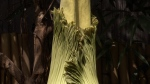 Corpse flower causes a stink at Bloedel Conservato