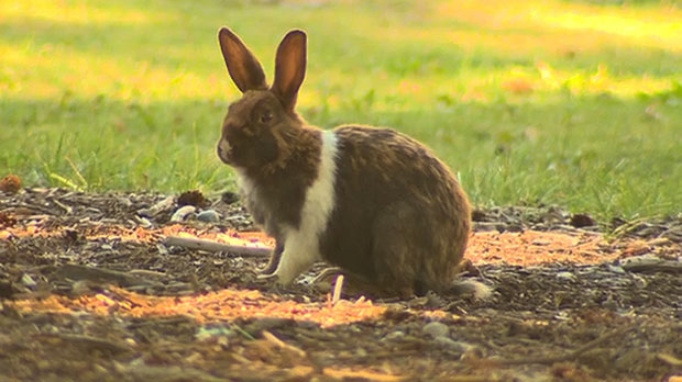 The town says the rabbit population has been reduced by about 1200 since the cull program began.