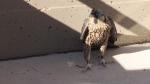Fallen falcon to return home Tuesday evening