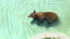 Bear lounges in backyard pool