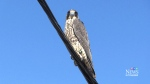 Falcon reluctant to fly again after first try