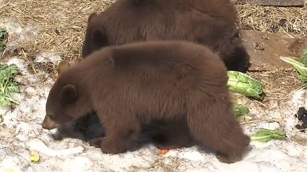 Three bears from Banff