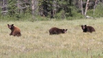 Officials say that three bears, found trapped inside a bathroom building last year, have been released in the backcountry. (Parks Canada)