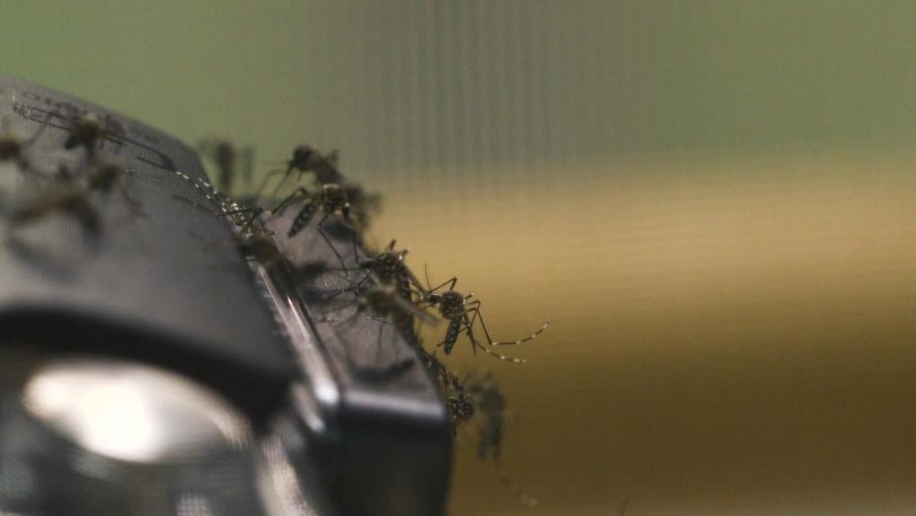 Mosquito trap count hits medium range in Winnipeg