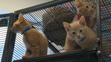 AARCS is holding an adoption even this Friday to help find homes for the facility's 70 cats so that more can be cared for.