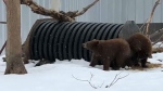 Black bear cubs return to Alberta