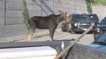 Moose wanders onto Hwy 417 EB near Pinecrest