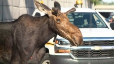 Extended: Moose on the loose on Ottawa highway