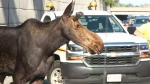 A moose slowed traffic on Highway 417 in Ottawa.
