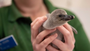 In this image made available Thursday July 19, 2018, London Zoo unveils a Humboldt penguin chick after they nursed it back to health after its parents accidentally stepped on its egg and broke it. (Zoological Society of London via AP)