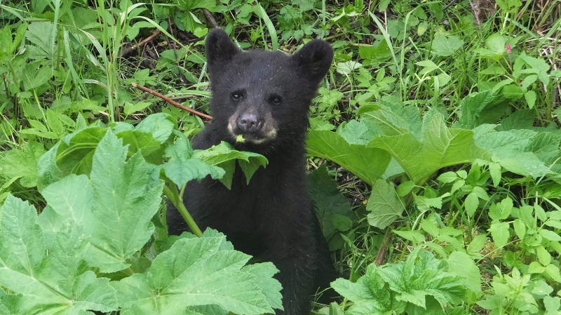 In this June 2017 file photo, a black bear cub forages for food along a salmon stream in Juneau, Alaska. (AP Photo/Becky Bohrer)