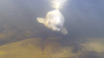 Beluga whale in Nepisquit River, New Brunswick, pre-release June 2017. (Marine Animal Response Society)