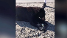 An image of the injured bear cub (Anne Chadwick/ Facebook)