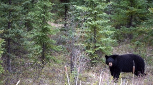 File photo of a black bear beside a highway (Canadian Press)