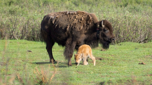 A little bison calf in Banff National Park