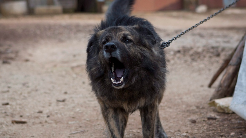 Dog Medo barks in a backyard in Peroj, Croatia, Monday, Feb. 9, 2015. A fed up neighbor from a northern Croatian Adriatic village has won a temporary court order that says Medo must stop barking at night. If not, owner Anton Simunovic must pay some Ä2,800 ($3,160). The 3-year-old mutt, now confined in a barn between 8 p.m. and 8 a.m. instead of being allowed to roam, is the only dog in Croatia slapped with a no-barking injunction. (AP Photo/Darko Bandic)