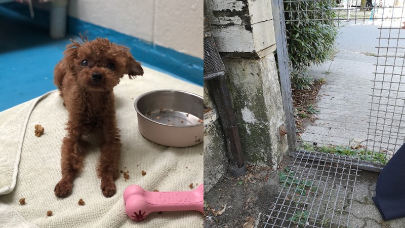Teacup poodle stolen from Vancouver SPCA shelter | CTV News