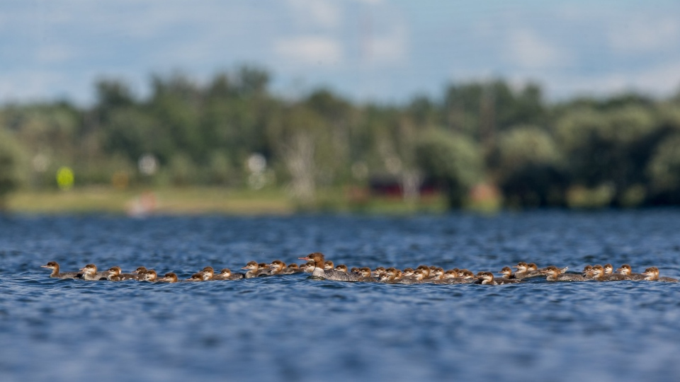 Image result for Mama duck with 76 ducklings on Minnesota lake