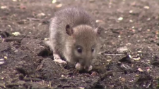 Many residents in the New Brunswick town are reporting more rats and mice in their homes.