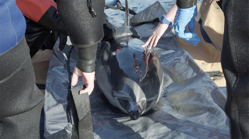 The Vancouver Aquarium Marine Mammal Rescue Centre was called in to assist with the rescue of what is believed to be a long-beaked common dolphin stranded on a beach near Tofino Thursday, July 26, 2018. (Courtesy Ocean Wise)