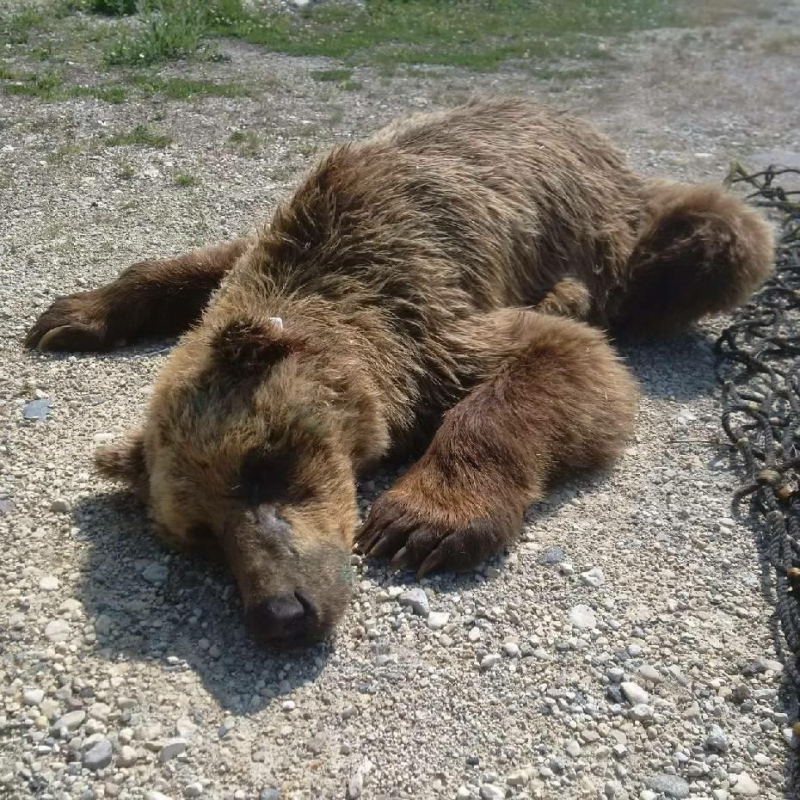 A Grizzly bear was trapped and subdued in Churchill where it was tagged with a GPS monitor. (Source: Manitoba Conservation Officers' Association / Facebook)