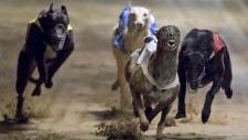 Greyhounds race at the Macau Yat Yuen Canidrome