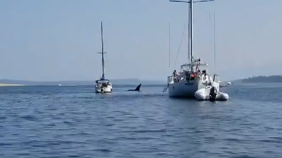 Cellphone video captured on Sunday shows an orca pushing a moored sailboat around the Comox Harbour and then into another vessel.