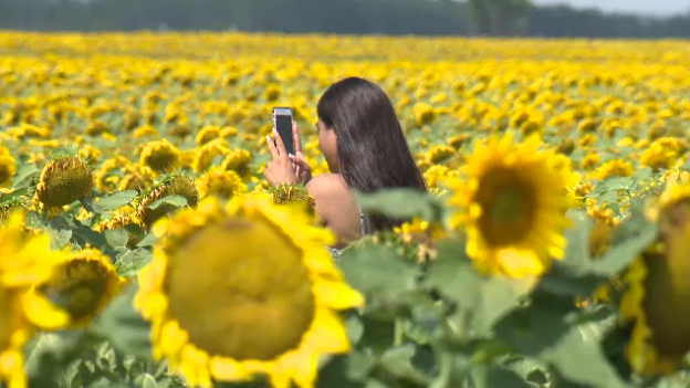 Bruce Stewart says there have been dozens of visitors snapping photos in his sunflower field.