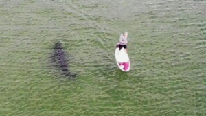 Trending: Close encounter on a paddleboard