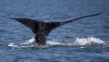 A North Atlantic right whale appears at the surface of Cape Cod bay off the coast of Plymouth, Mass., on March 28, 2018. (Michael Dwyer / THE ASSOCIATED PRESS)