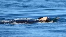 j35 orca dead calf