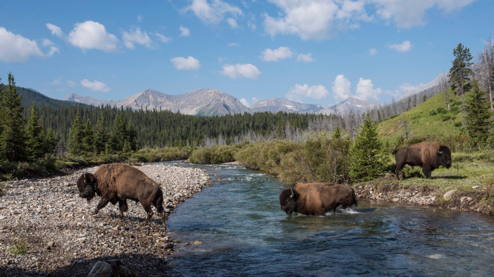 Wild plains bison cross the Panther River in Banff National Park in this recent handout photo. Parks Canada says wild plains bison that were reintroduced to Banff National Park are now officially free-roaming animals. (THE CANADIAN PRESS/HO - Parks Canada, Dan Rafla)