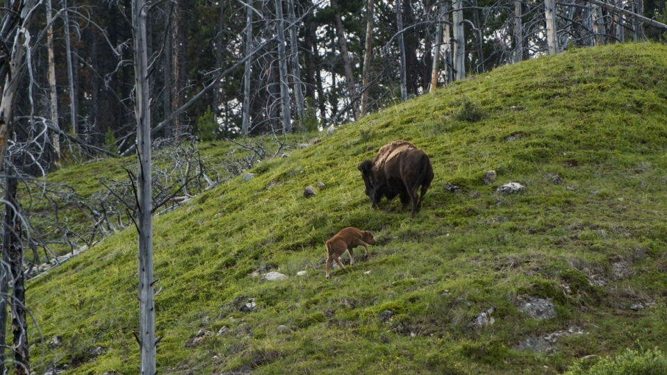 The bison were released into a 1,200 square-kilometre zone. (Dan Rafla)