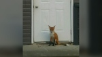 New foxy resident in Sask. town