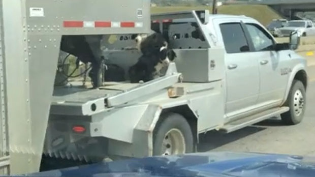 A group of three dogs were spotted riding on the back of a flatbed on Deerfoot Trail on Wednesday afternoon and police say they are investigating.