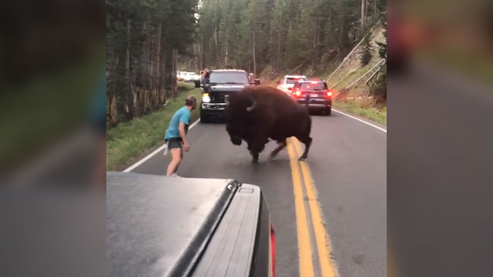The screenshot shows a bison charging towards a man in Yellowstone National Park. (Lindsey Jones / Facebook)