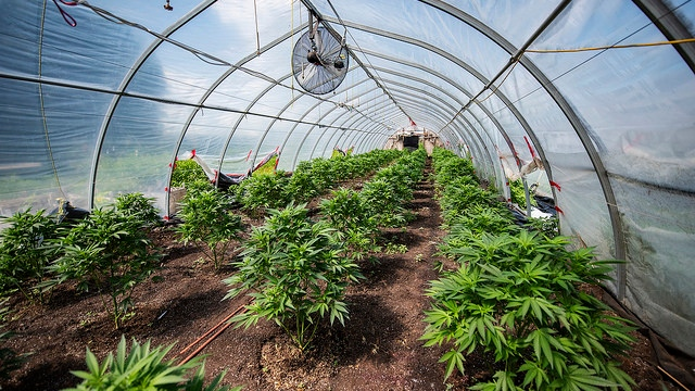 Police seized 635 pounds of cannabis and more than 4,000 plants from a grow op north of Toronto. (York Regional Police)