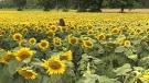 Sunflowers fields for celiac disease