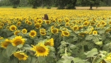 Sunflowers fields for celiac disease