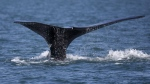 A North Atlantic right whale appears at the surface of Cape Cod bay off the coast of Plymouth, Mass., on March 28, 2018. THE CANADIAN PRESS/AP-Michael Dwyer