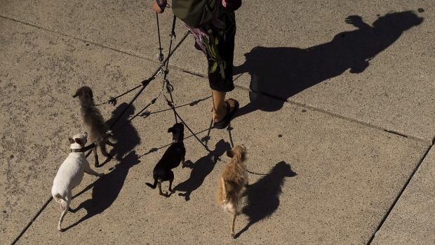 A woman walks a pack of dogs